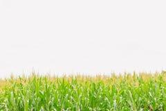 玉米软的焦点,印第安玉米、玉米、玉蜀黍属5月,禾本科、稻科植物类、植物领域与白色天空和拷贝间隔背景 库存照片