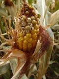 玉米迷宫材料 免版税库存图片