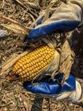 玉米采摘 免版税图库摄影