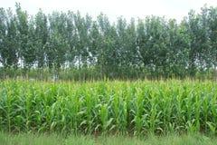 玉米领域和白杨树 免版税库存照片