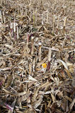 玉米领域在剪切以后 免版税库存照片