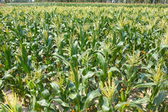 玉米领域 免版税库存照片