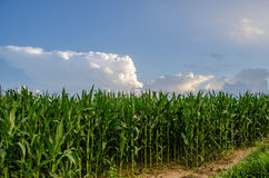 玉米高茎在领域的 库存图片