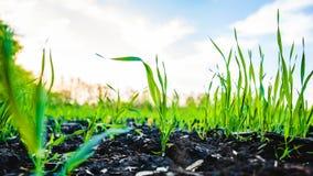 玉米,玉米的发芽领域 免版税库存图片