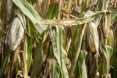 玉米,细节的领域的特写镜头 免版税库存照片