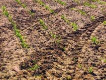 玉米 与前朵绿色花的干燥破裂的黏土 免版税库存图片