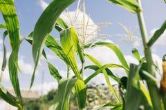玉米年轻人 免版税库存图片