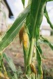 玉米年轻人 库存照片