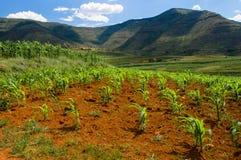 玉米(玉米)在莱索托种植生长 免版税库存图片