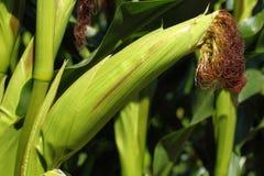玉米-玉蜀黍属5月-棒子 免版税库存图片