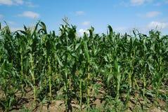 玉米(玉蜀黍属5月)的一个绿色领域的照片盛夏 库存图片
