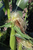 玉米绿色 免版税库存照片
