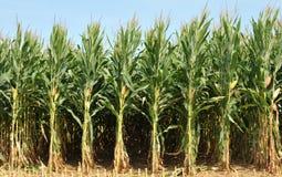 玉米 免版税库存图片