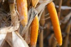 玉米 免版税图库摄影