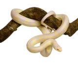 玉米elaphe guttata蛇 库存图片