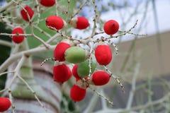 王侯唇膏棕榈Cyrtostachys renda 库存照片