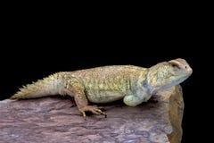 王侯的多刺被盯梢的蜥蜴(第一公民的Uromastyx) 库存图片