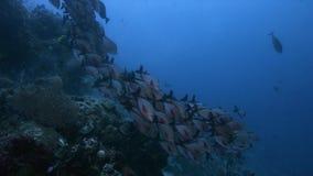 王侯Ampat印度尼西亚五颜六色的珊瑚礁4k 股票视频