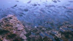 王侯Ampat印度尼西亚五颜六色的珊瑚礁4k 影视素材