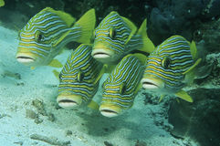 王侯Ampat印度尼西亚太平洋东方sweetlips (Plecorhinchus orientalis)上面海底 免版税库存图片