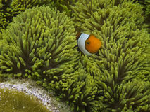 从王侯Ampat巴布亚的Nemo 库存图片