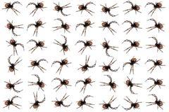 王冠蜘蛛 免版税库存图片