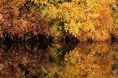王紫萁在autum的Osmunda spectabilis 图库摄影