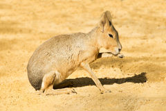 玛拉或巴塔哥尼亚人的野兔 库存照片