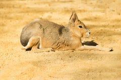 玛拉或巴塔哥尼亚人的野兔 库存图片
