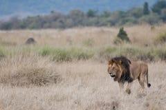 玛拉狮子在肯尼亚,非洲 免版税库存图片