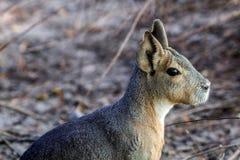 玛拉头在一个动物学公园在克里米亚 库存照片
