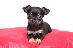 玩具在红色枕头的狗小狗 免版税库存照片