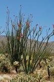 玩具熊chollas围拢的开花的蜡烛木树在南加州离开 免版税库存照片