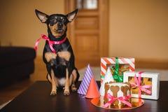 玩具狗和狗结块,在箱子的曲奇饼有生日帽子的 免版税库存照片