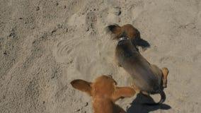 玩具狗在沙子游泳在游泳以后 股票录像
