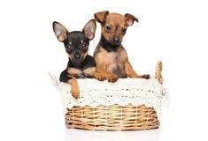 玩具狗小狗在篮子坐 免版税库存照片