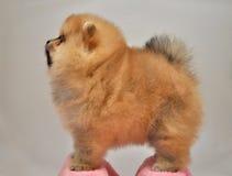 玩具狗,查尔斯小狗, Pomeranian波美丝毛狗德国缩样, 免版税库存照片