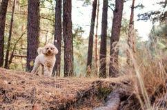 玩具狮子狗在秋天森林的背景站立 库存照片