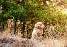 玩具狮子狗在秋天森林的背景站立 免版税图库摄影