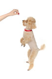 玩具狮子狗在他的后腿站立并且要求食物 免版税库存照片