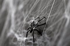 黑玩具蜘蛛的万圣夜装饰在蜘蛛网的 库存图片