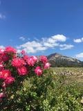 玫瑰、山和草甸 图库摄影
