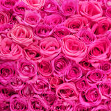 玫瑰。桃红色开花背景 免版税库存照片