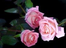 玫瑰三位一体  库存照片