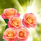 玫瑰三朵花在太阳背景的 免版税库存图片