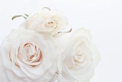 玫瑰三白色 免版税库存图片