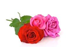玫瑰三 库存图片