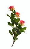 玫瑰三 免版税图库摄影