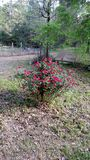 玫瑰丛在后院 免版税图库摄影