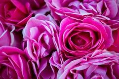 玫瑰丛在春天开了花在早晨庭院里 库存图片